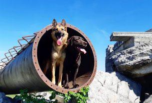 potražni psi