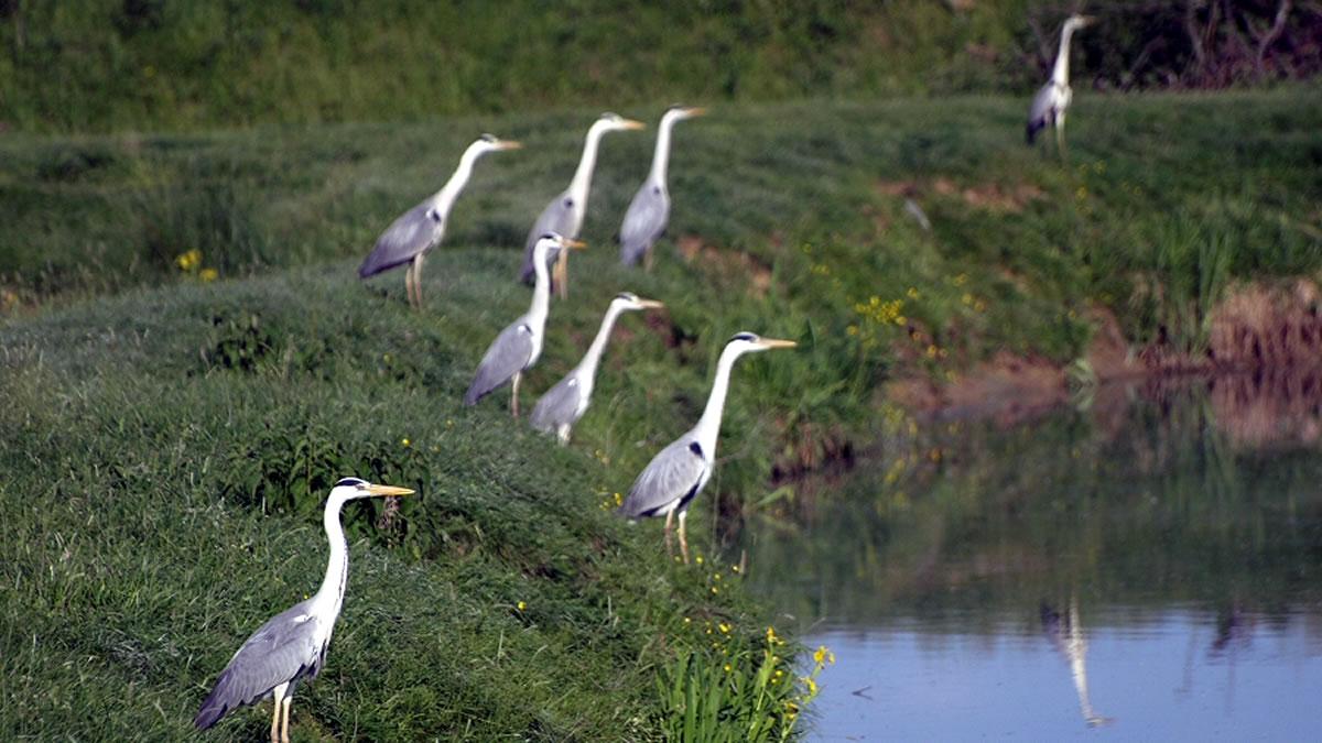 ptica siva čaplja, sisčani, 2008