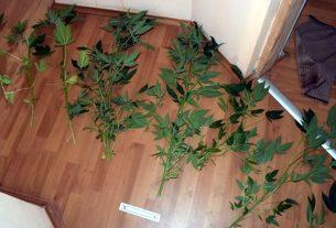 stabljike marihuane - velika gorica - 2020