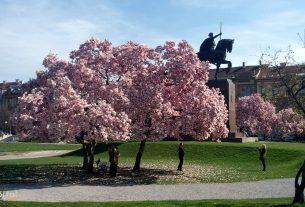 magnolija na trgu kralja tomislava / zagreb, ožujak 2016.
