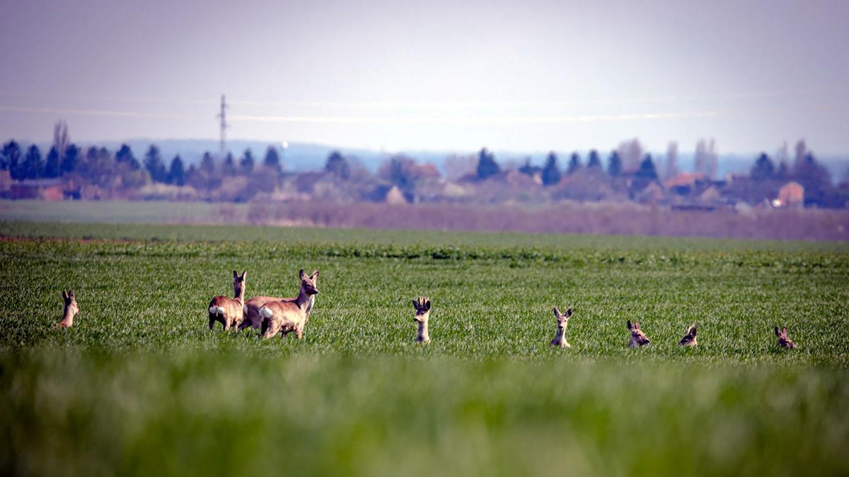 krdo jelena - karanac, baranja - 2020